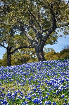 Texas Bluebonnet Hill | Photo by Kristina Deane with Pin-It-Button on FineArtAmerica