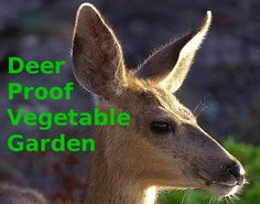 Do you know how to keep deer out of vegetable gardens without building a tall fence? Here is a simple solution involving 4' fences and raised beds. Use deer resistant vegetable garden planning.