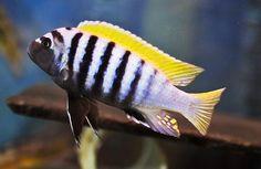 "Cynotilapia Afra ""Jalo Reef"" - ~3"" mildy aggressive mbuna cichlid"