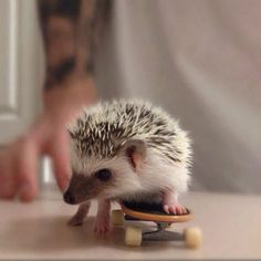 Image result for really cute baby hedgehogs