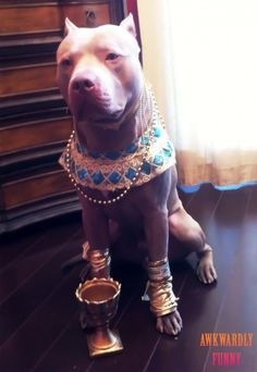 ROFL, this is funny Just my Pittbull dressed as King Tut