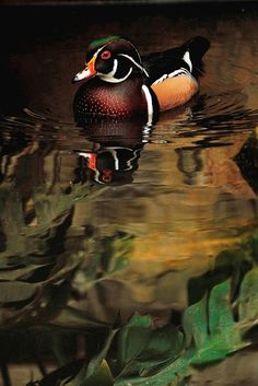 Aix sponsa - Wood Duck