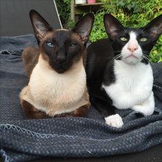 Siamese and oriental shorthair.