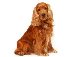English Cocker Spaniel sitting on isolated white background in the studio Perro Cocker Spaniel, American Cocker Spaniel, English Cocker Spaniel, Springer Spaniel, Spaniel Dog, Cute Puppies, Cute Dogs, Dogs And Puppies, Doggies