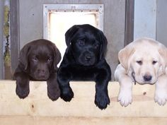 I'm getting lab puppies just like these in all three colors a couple years from now! My mom has plans ready! :)