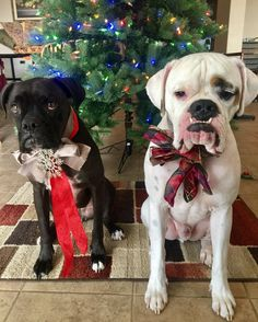 """Marlow & Maci [the Boxers] (@marlowandmaci) on Instagram: """"These two don't look like they are enjoying the #ChristmasSpirit! #SantaPaws"""