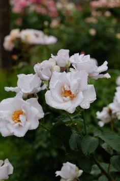 コピスガーデン(6月12日)|Nora レポート ~ワンランク上の庭をめざして~