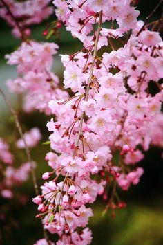 京都 上品蓮台寺 紅枝垂れ桜 Japan,Kyoto,Jyobonrendai-ji temple,cherry