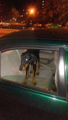 Shannon Griffin Dalipovski September 2 at 11:39pm · Waterbury Found young, extremely skinny and hungry, unaltered male Doberman. Hit by a black SUV on Moran St., WATERBURY. I cldnt just leave him so he is safe and medically ok. PLEASE SHARE!! He IS NOT chipped!! Any info pls call 860-308-4742. black brown
