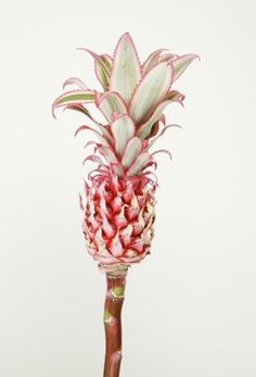 Pink Pineapple for Tropical Flair Pineapple Flowers, Tropical Flowers, Baby Pineapple, Pineapple Art, Deco Floral, Foto Art, Belle Photo, Pretty In Pink, Perfect Pink