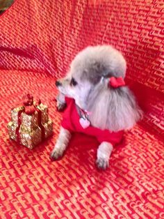 Thank you Joyce for sharing with The Poodle Patch Community...  and little Scarlett is just precious and all love...