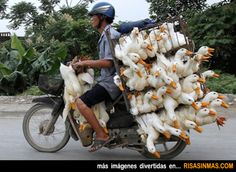 Transportando unos patos.