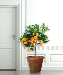 22 Best Trees Citrus Images In 2018 Citrus Trees Fruit