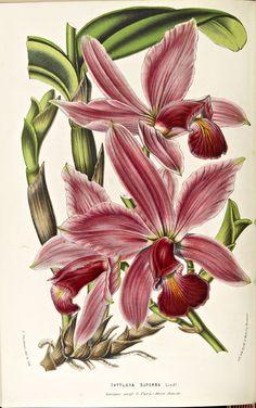 Flore des serres et des jardins de l'Europe : Annales générales d'horticulture , 1845-1880; Cattleya superba Vol. IX, opposite p.177, Image number:2004-29816