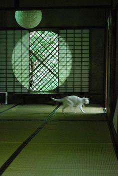 White cat in Japan - murakami Japanese Modern, Japanese Interior, Japanese House, Japanese Beauty, Japanese Culture, Washitsu, Kyoto Japan, Japan Sakura, Photo Chat