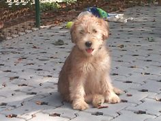 Our next dog will be a Soft Coated Wheaten Terrier! Just like Bella, they are hypo-allergenic and don't shed.