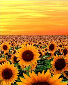 Sunflower Fields in Maryland Impression Textile, Sunflower Pictures, Sunflower Quotes, Sunflower Fields, Sunflower Garden, Nature Adventure, Sunset Pictures, Sunset Pics, Beautiful Sunrise