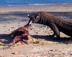 Komodo eats Timor deer on Loh Liang' beach