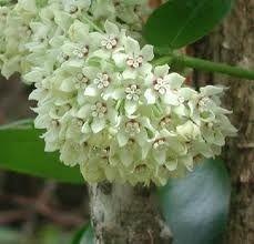 hoya - flor de cera