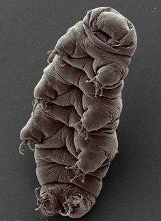 Tardigrades (commonly known as waterbears or moss piglets) are small, water-dwelling, segmented animals with eight legs.