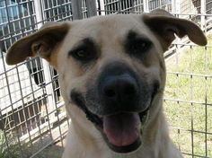 Boudreaux is an adoptable Black Mouth Cur searching for a forever family near Roseland, LA. Use Petfinder to find adoptable pets in your area.