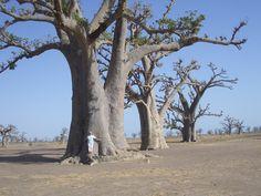 Baobab, Senega  by myself