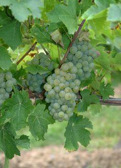 Sachsen : eine Präsentation des Weinanbaugebiets (2013) Vineyard, Fruit, Exploring, Beautiful, Wine, Vine Yard, Vineyard Vines, Explore, Research