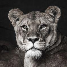 Lion To buy this picture please visit www.3aArt.de Zum Erwerb dieses Bildes besuchen sie bitte unsere Hompage www.3aArt.de