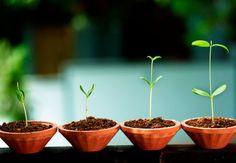 Sobald die einzelnen Pflanzen wenige Zentimeter hoch gewachsen sind, müssen sie pikiert beziehungsweise vereinzelt werden. Das bedeutet, dass Sie die Gemüsepflanzen vorsichtig aus der Anzuchterde graben und die Wurzeln behutsam voneinander trennen. #OBI #Ratgeber #Anzucht von Obst & Gemüse