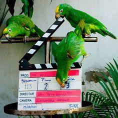 Amazzone fronte gialla - Yellow-crowned Amazon -  Amazona ochrocephala