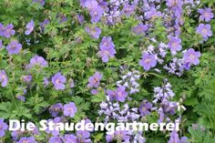 blüht 5 - 9 Geranium himalayense 'Gravetye', 2,80 €, Die Staudengärtnerei -