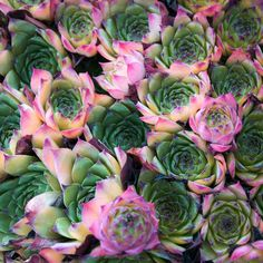 The pink on these  succulents makes them look like flowers ^^