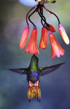 Colorful Puffleg. Blossoms bright as Christmas lights lure hummingbirds hungry for nectar, which can make up 90 percent of their diet. In exchange, the birds provide a vital service: delivering pollen to distant flowers. // Photo by Luis A. Mazariegos for National Geographic http://ngm.nationalgeographic.com/ngm/0701/feature4/gallery6.html