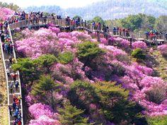 Goryeosan Azalea Festival in #Ganghwa Island, Korea