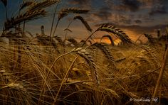Wheat by riccardo lubrano on 500px
