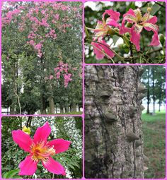Life in China: A Picture A Day - October 15, 2016 - Silk Floss Trees - My Own Chinese Brocade Blog, Songshan Lake, Dongguan,  Guangdong, China