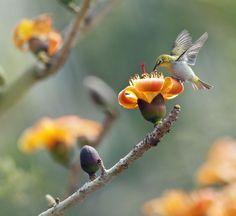 Хлопковое дерево Bombax ceiba. Обсуждение на LiveInternet - Российский Сервис Онлайн-Дневников