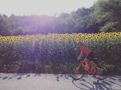 Getting confident with #Romagna hit... Looking for some shade under the #sunflowers!  #rapha_europe #rapha #strongher #shero #ontherivet #sixs #smithwomen #vittoriatires #bicilive #womenscycling #girlpower  #bikesgirls  #twcweride #igerscycling #likeagirl #cycling #cyclingshots #velo #instadaily #me #radgirlslife #lifebeyondwalls #cyclinglife