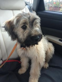 Catalan Sheepdog Molly Malone puppy 4 months instagram: @mollymalonethedog