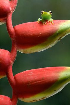 Tiny frog on heliconia