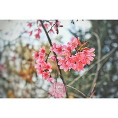 【con_cua_cau_khinh】さんのInstagramをピンしています。 《MEMORY #memory  #memories #sakura #cherryblossom #blossom #hanami #pink #pinky #flower #flowerstagram #flowers #flowerslovers #nature #natural #photography #photoftheday #photooftheday #photoofday #vscocam #vsco #japan #vietnam #dalat #travelphotography #travel #桜#サクラ#櫻 #さくら #お花見》