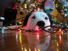 Christmas dog's