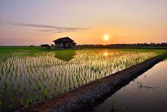 米どころはどこだ!?米の生産量が多い都道府県と美味しい米 | コラム | オリーブオイルをひとまわし