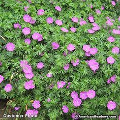 Pink Geranium sanguineum, Geranium sanguineum, Crane's Bill