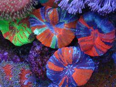 scolymia corals. rad.