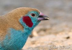 Red-cheeked Cordon-bleu | Red-cheeked Cordon-bleu