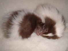 Baby skunks - the brown colour mutation marks them out as pet skunks (who have been bred for unusual colour variations) Woodland Creatures, Cute Creatures, Beautiful Creatures, Animals Beautiful, Animals Of The World, Animals And Pets, Baby Animals, Cute Animals, Skunk Smell