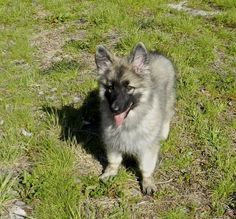 Shaylee at 13 weeks old <3 Shiloh Shepherd