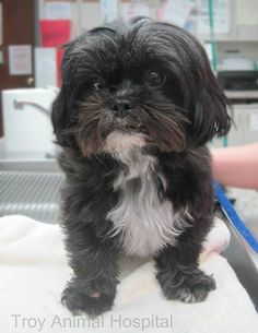 Photo: Welcome to Monday! How about a cute little dog named Daisy to start your day off right? #shihtzu