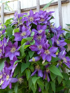 Clematis Lady Betty Balfour, also put this on the old tree stump.